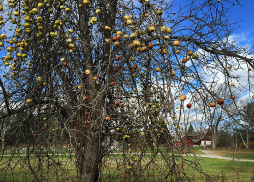 Apples on one of Frost's trees, with house in background.
