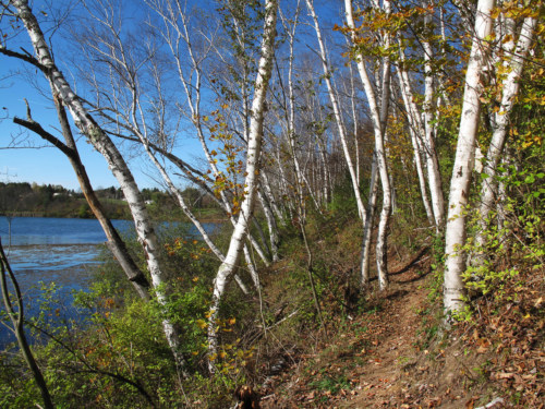 Birches along the Shore Trail.