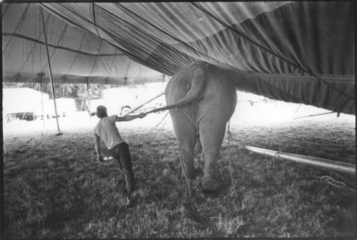 Elephant at work, setting up the ten, 1977.