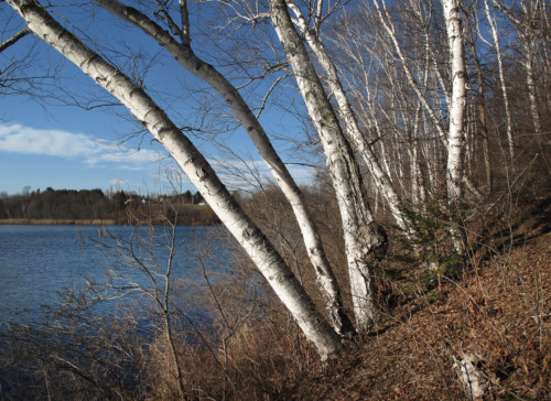 Lakeshore birches in December
