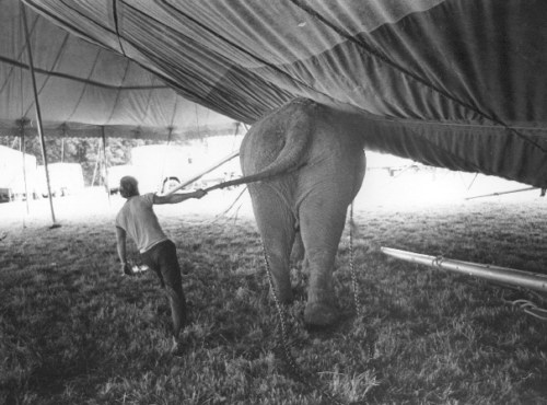 Elephant at work setting up circus